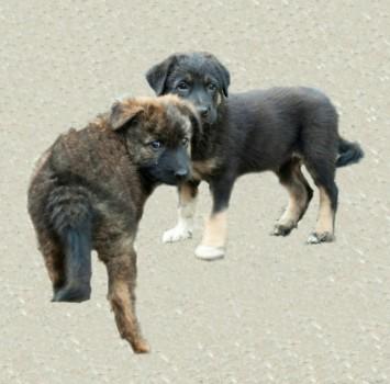 Красивейшие, плюшевые щенки в добрые руки!